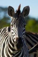 Chapman's zebra, Hwange National Park, Zimbabwe, Africa Fine Art Print