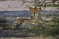 Cheetah,Acinonyx jubatus, Nxai Pan NP, Botswana, Africa Fine Art Print