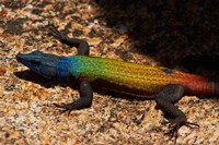 Flat Lizard