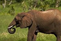 Elephant drinking, Hwange NP, Zimbabwe, Africa by David Wall - various sizes