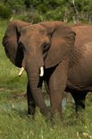 Elephant, Hwange NP, Zimbabwe, Africa by David Wall - various sizes