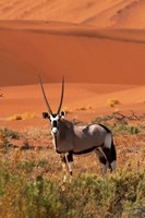 Gemsbok and sand dunes, Namib-Naukluft National Park, Namibia by David Wall - various sizes, FulcrumGallery.com brand