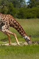 Giraffe drinking, Giraffa camelopardalis, Hwange NP, Zimbabwe, Africa by David Wall - various sizes - $41.99