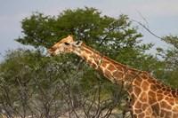 Giraffe, Namibia by David Wall - various sizes