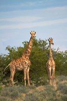 Giraffe, Etosha National Park, Namibia by David Wall - various sizes