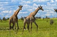 Giraffe, Nxai Pan National Park, Botswana, Africa by David Wall - various sizes