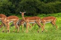 Herd of Impala, by Chobe River, Chobe NP, Kasane, Botswana, Africa Fine Art Print