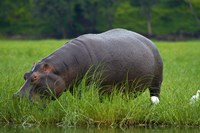 Hippo and Cattle Egret by Chobe River, Chobe NP, Botswana, Africa by David Wall - various sizes, FulcrumGallery.com brand