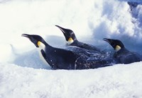 Emperor Penguins in Dive Hole, Antarctica Fine Art Print