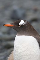 Antarctica, Aitcho Islands, Gentoo penguin, beach Fine Art Print