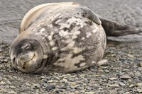 Antarctica, King George Island, Weddell seal Fine Art Print