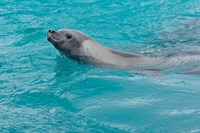 Antarctica, Pleneau Island, Crabeater seal by Michael DeFreitas - various sizes