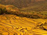 Farmers Plant Rice, Luchun, Yunnan, China Fine Art Print