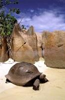Aldabran Giant Tortoise, Curieuse Island, Seychelles, Africa Fine Art Print