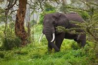 African elephant, Ngorongoro Conservation Area, Tanzania Fine Art Print