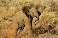 Baby African Elephant, Samburu Game Reserve, Kenya Fine Art Print