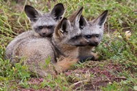 Bat-eared foxes, Serengeti National Park, Tanzania Fine Art Print