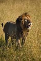 Black maned male Lion, Panthera leo, Masai Mara, Kenya by Adam Jones - various sizes