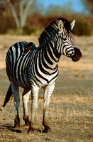 Botswana, Chobe NP, Linyanti, Burchell's zebra by Cindy Miller Hopkins - various sizes