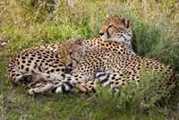 Cheetahs, Serengeti National Park, Tanzania by Art Wolfe - various sizes