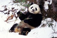 Giant Panda With Bamboo, Wolong Nature Reserve, Sichuan Province, China Fine Art Print
