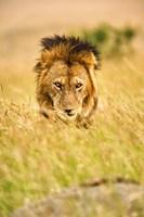 Adult male lion, Panthera leo, Masai Mara, Kenya Fine Art Print