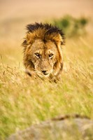 Adult male lion, Panthera leo, Masai Mara, Kenya by Adam Jones - various sizes