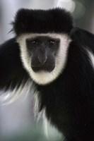 Black and White Colobus Monkey, Lake Nakuru NP, Kenya by Adam Jones - various sizes