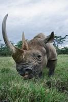 Black Rhinoceros, Kenya by Adam Jones - various sizes - $41.99