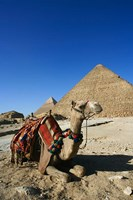 Camel at Cheops, The Great Pyramid, Khafre or Chephren by Adam Jones - various sizes