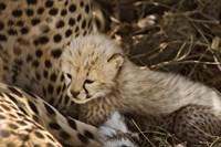 Cheetah cub, Acinonyx jubatus, Masai Mara, Kenya by Adam Jones - various sizes