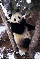 China, Giant Panda Bear, Wolong Nature Reserve Fine Art Print