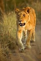 Female Lion Walking At Sunset, Masai Mara, Kenya by Adam Jones - various sizes