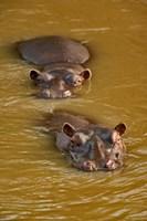 Hippopotamus in river, Masai Mara, Kenya by Adam Jones - various sizes, FulcrumGallery.com brand