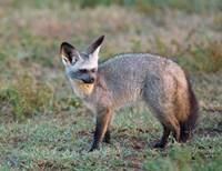 Bat-eared Fox, Serengeti, Tanzania Fine Art Print