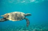 Hawksbill Turtle, Mayotte Island, Comoros, Africa Fine Art Print
