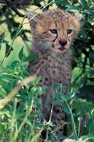 Cheetah Cub, Masai Mara Game Reserve, Kenya Fine Art Print