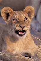Close-Up of Lion, Okavango Delta, Botswana Fine Art Print