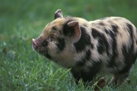 Domestic Farmyard Piglet, South Africa Fine Art Print