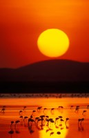 Flock of Lesser Flamingos Reflected in Water at Sunrise, Amboseli National Park, Kenya Fine Art Print