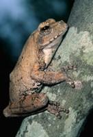 Grey Frog, Kruger NP, South Africa Fine Art Print