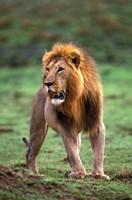 Adult male lion, Masai Mara Game Reserve, Kenya by Adam Jones - various sizes