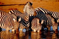 Botswana, Chobe NP, Linyanti Reserve, zebra by Cindy Miller Hopkins - various sizes