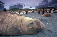 Elephant Seal and King Penguins, South Georgia Island, Antarctica Fine Art Print