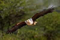 Fish Eagle in Flight, Kenya by Jaynes Gallery - various sizes