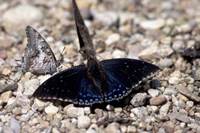 Black Butterfly, Gombe National Park, Tanzania Fine Art Print