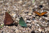 Three Butterflies, Gombe National Park, Tanzania Fine Art Print