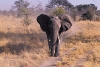 Elephant, Okavango Delta, Botswana Fine Art Print