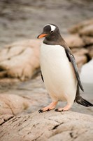 Antarctica. Adult Gentoo penguins on rocky shoreline. Fine Art Print