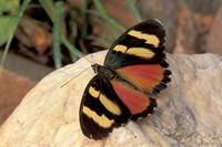 Orange/Yellow Butterfly, Gombe National Park, Tanzania Fine Art Print